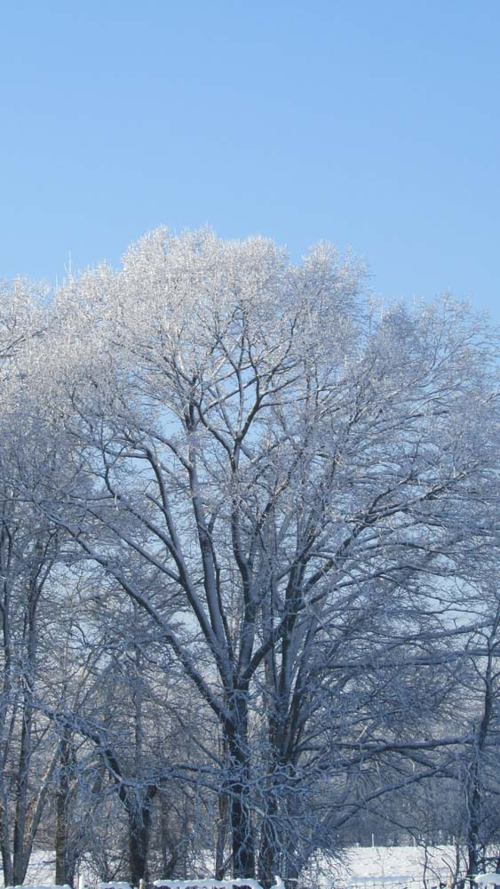 Snow Covered Tree (c) Heather Floyd