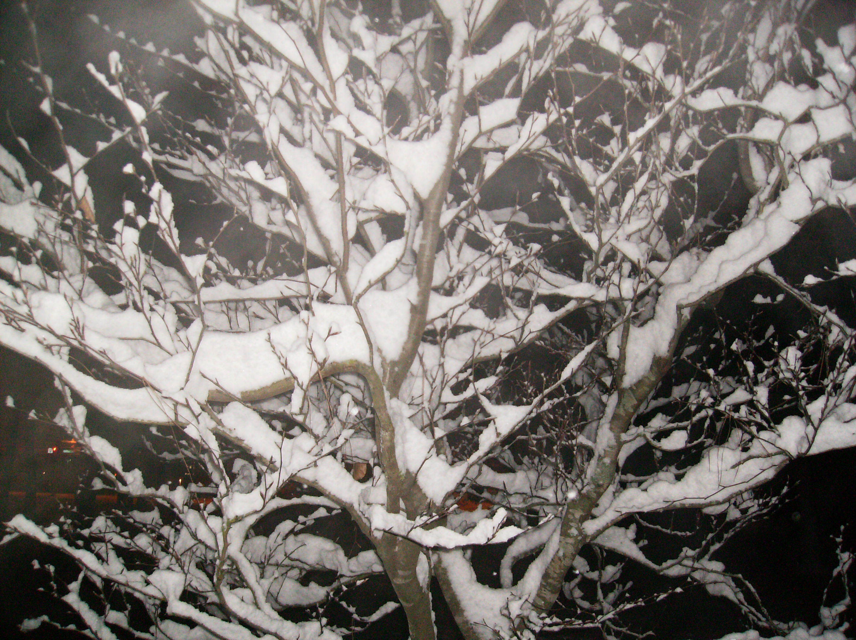 Snow covered tree from near the Salmon Library parking lot